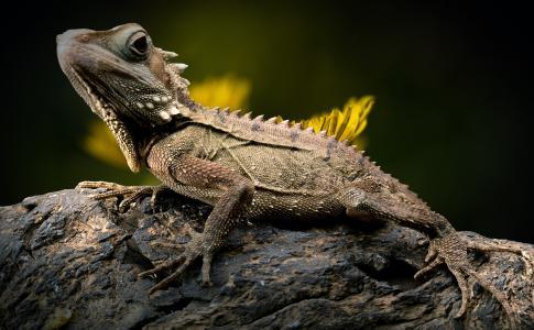 蜥蜴, 蒲公英, 爬行动物, 森林龙, 濒临灭绝, 自然, 模具类型
