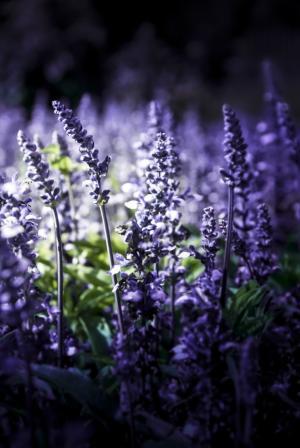 熏衣草, 自然, 紫罗兰色, 开花, 绽放, 花, 普罗旺斯