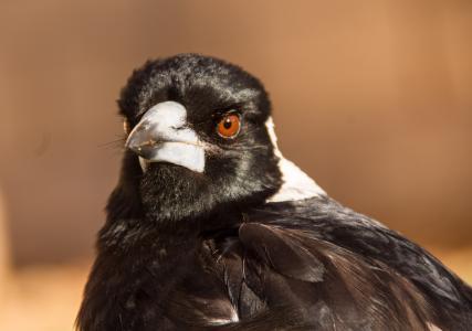 澳大利亚喜鹊, 喜鹊, 鸟, 黑色, 白色, 肖像, 羽毛