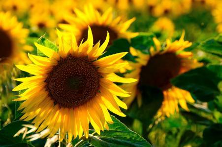 太阳花, 回光, 多彩, 黄色的花, 自然, 花, 开花