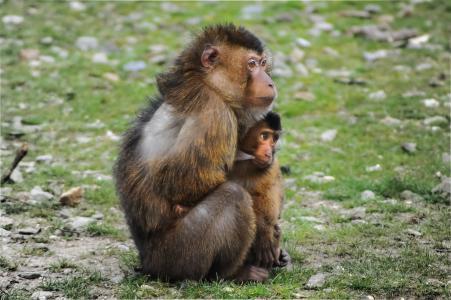 巴巴利猿, 猿, 巴巴利猕猴, 猕猴西尔瓦努斯·塞耶, magot, 猴子, 母亲