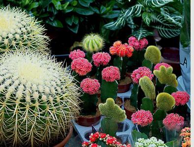 仙人掌, 球形, 白色, 多彩, sucholubne, 盆栽, 装饰