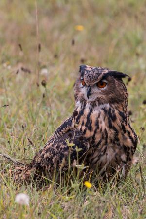 大雕, 腹股沟淋巴, 猫头鹰, 鸟, 羽毛, 自然, 野生的鸟