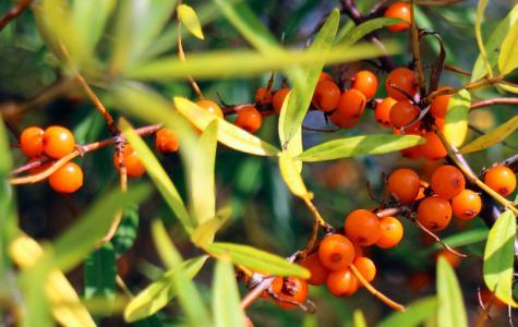 沙棘, 水果, 浆果, 橙色, 红色, 布什, rowanberries