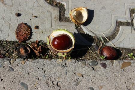 板栗, 七叶树, 核桃, 秋天
