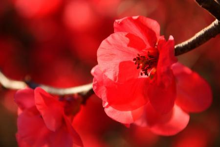 日本开花海棠, 冬天, 太阳, 自然, 户外, 森林, 开花