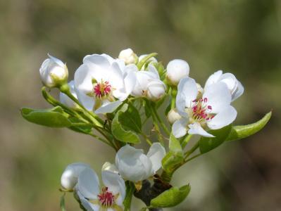 花, 如花, 果树, 绚丽的分支, 开花, 白色的颜色, 自然