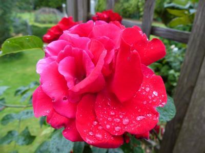 上升, 红色, 潮湿, 露水, 滴灌, 浪漫, 开花