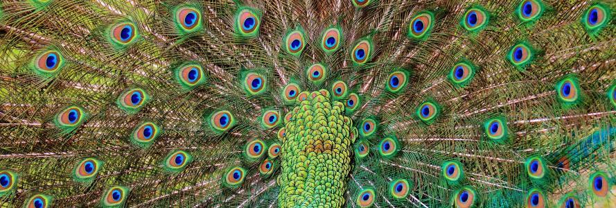 孔雀羽毛, 孔雀, 鸟, 家禽, 羽毛, 条例草案, 自然