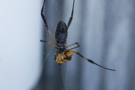 蜘蛛, 猎物, 帆布, 昆虫, 蜘蛛网, 蛛形纲动物, 动物