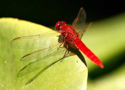 蜻蜓, 昆虫, 红色