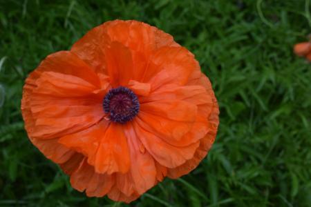 罂粟, 花, 户外, 绿色, 绽放, 花园, 花瓣