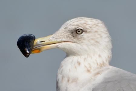 海鸥, 鸟, 自然, 动物, 贻贝, 食品