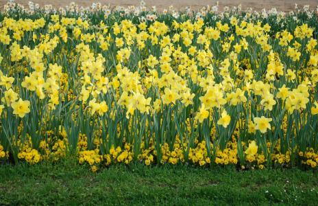 水仙花, 花, 自然, 植物, 花, 春天, 花园
