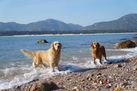 美丽, 海浪, 蓝蓝的天空和洁白的云朵, 现场, 狗, 宠物, 猎犬
