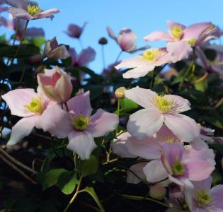铁线莲, 登山者, 花园, 饰品, 绽放, 花, 关闭