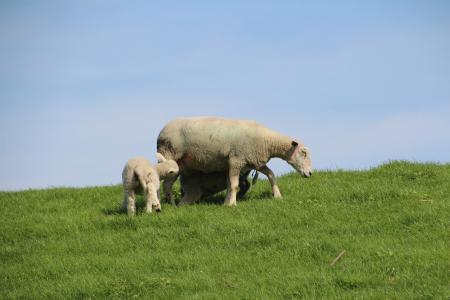 羊, 羊毛, 羔羊, 堤防, schäfchen, nordfriesland, 动物