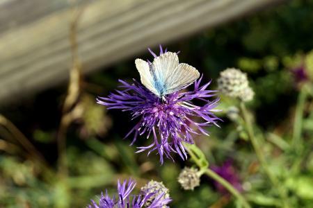 蝴蝶, 开花, 绽放, 昆虫, 花, 矢车菊, 自然