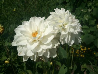 大丽花, 花, 花香, 植物, 自然, 开花, 绽放