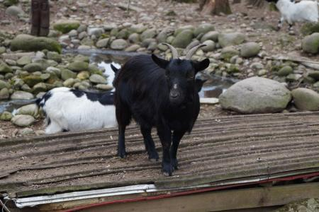 动物, 普拉, 羊, 山, 自然, 喇叭, 普拉托
