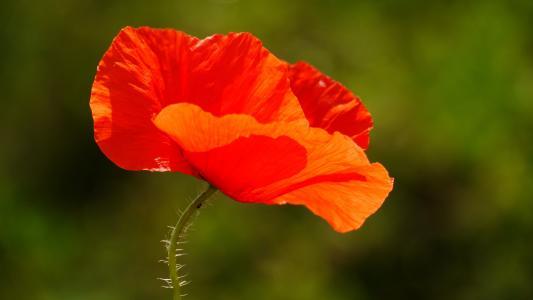 罂粟, 花, 红色, 自然, 植物, 夏季, 特写