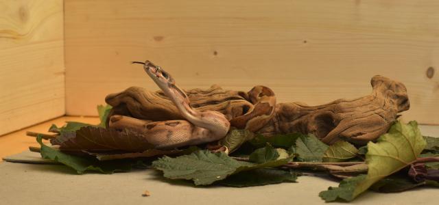 蛇, 宝儿, 蟒蛇皇帝, 爬行动物, 头, 潜伏, 关闭