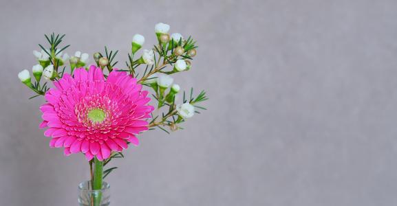 非洲菊, 花, 开花, 绽放, 花瓣, 粉色, 春天的花朵
