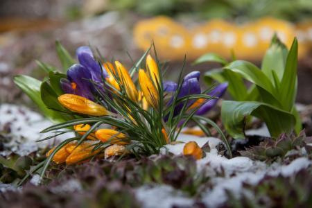 花, 番红花, 春天, 雪, 第一朵花, 绿党, 紫色