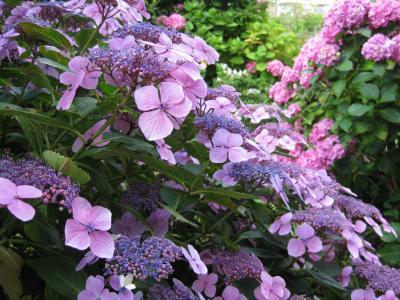 粉色, 风信子, 花园, 紫色, 花瓣, 特写