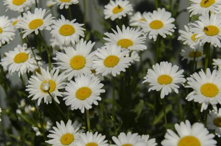 洋甘菊, 黛西, 花, 白色, 绽放, 特写, 白天