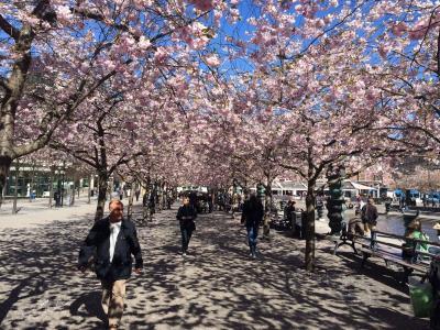 斯德哥尔摩, 春天, 绽放, 樱花, 树, 樱花, 春天