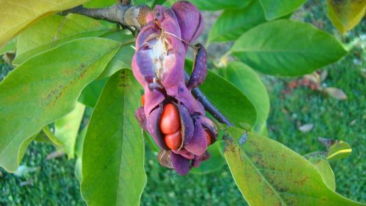 木兰, 树, 开花, 绽放, 自然, frühlingsblüher
