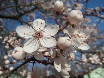 李蝇, 树, 开花, 花序, 宏观, 特写, 植物区系