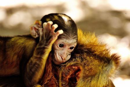 猿, 小猴, 巴巴利猿, 濒危的物种, 猴子山塞勒姆, 动物, 野生动物