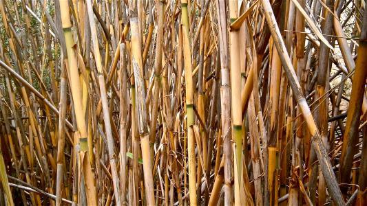 甘蔗, 芦竹芦竹, 茎圆柱形, 蔬菜, 植物学, 自然, 壁纸
