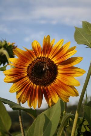 向日葵, 蜜蜂, 花, 自然, 黄色, 夏季, 植物