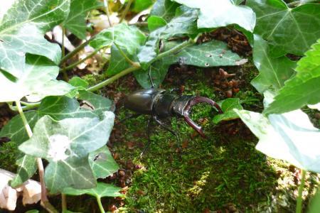 雄鹿甲虫, 昆虫, 甲虫, lucanus 鹿, 欧洲, lucane 风筝