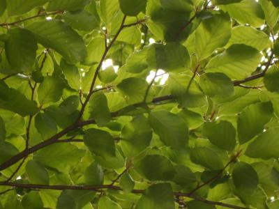 山毛榉, 公园, 自然, 叶, 树, 绿色的颜色, 森林