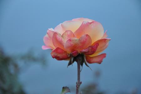 玫瑰, 花, 自然, 宏观, 粉色, 上升, 绿色