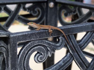 蜥蜴, 铁栅栏, 自然, 爬行动物, 壁虎, 栅栏, 钢
