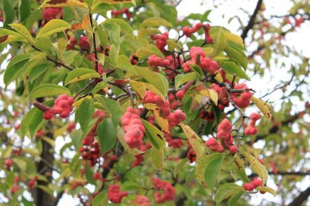 木兰, 水果, 红色, 成熟, 集群, 种子, 树木