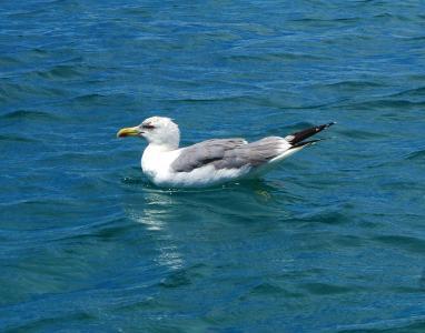 海鸥, 鸟, 动物, 水, 关闭, 水鸟, 飞