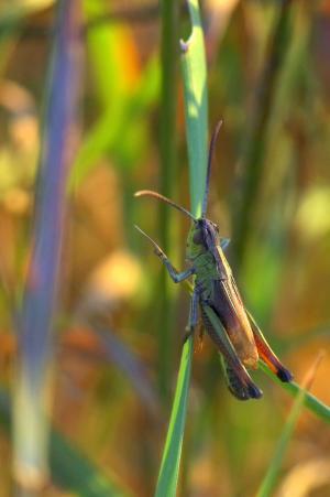 板球, tettigonia 金钟, 昆虫, 宏观, 甲虫, 自然, 蠕虫