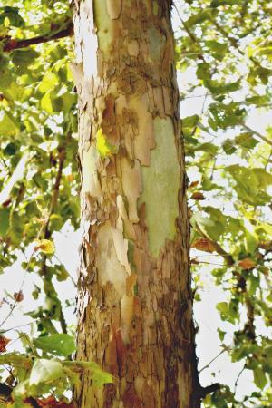 树, 树皮, 高, 叶子, 树干, 自然, 分支机构