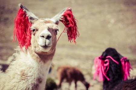 骆马在秘鲁