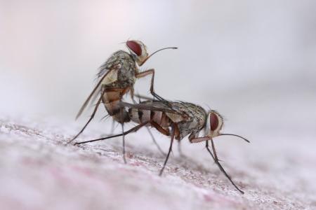 苍蝇, 的关系, 特写, 昆虫
