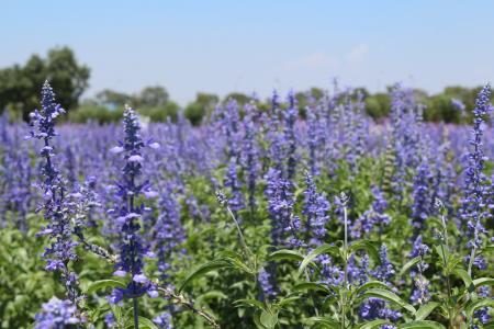 花, 薰衣草田野, 紫色