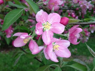 苹果, 花朵, 苹果树上的花, 树, 分公司, 春天, 自然
