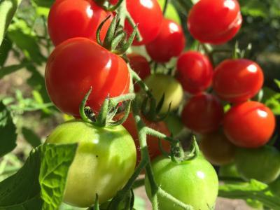 西红柿, 红色, 绿色, 布什, 素食主义者, 蔬菜, 弗里施