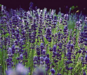 熏衣草, 香, 紫色